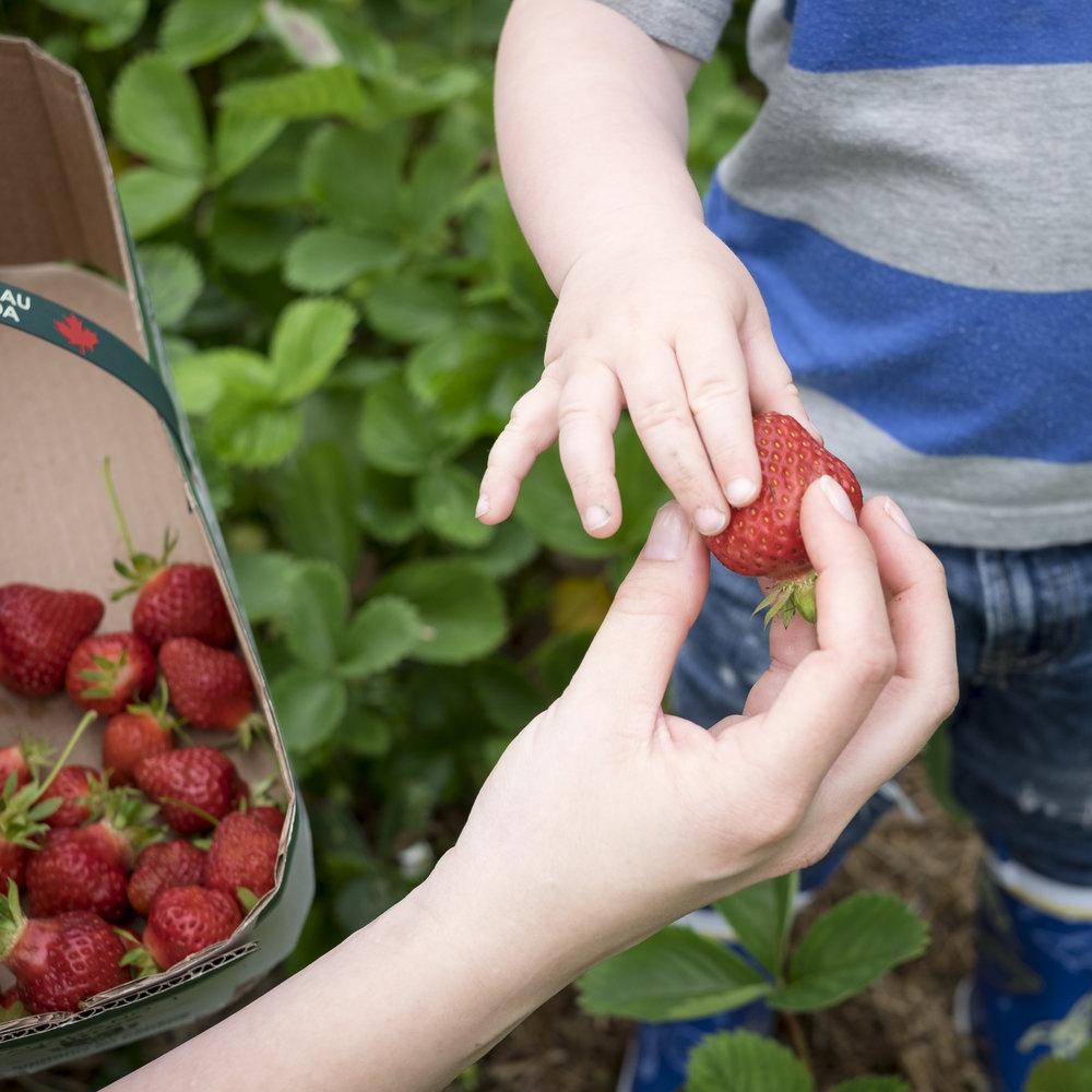 Berry Picking-1.jpg