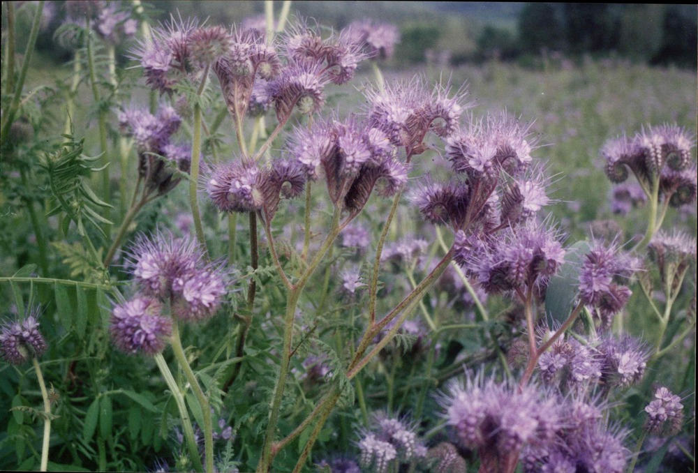 Phacelia cover crop