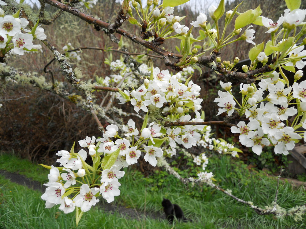 Asian pear blossoms.