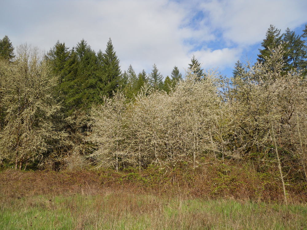 A grove of wild cherry trees at the base of the butte in bloom.
