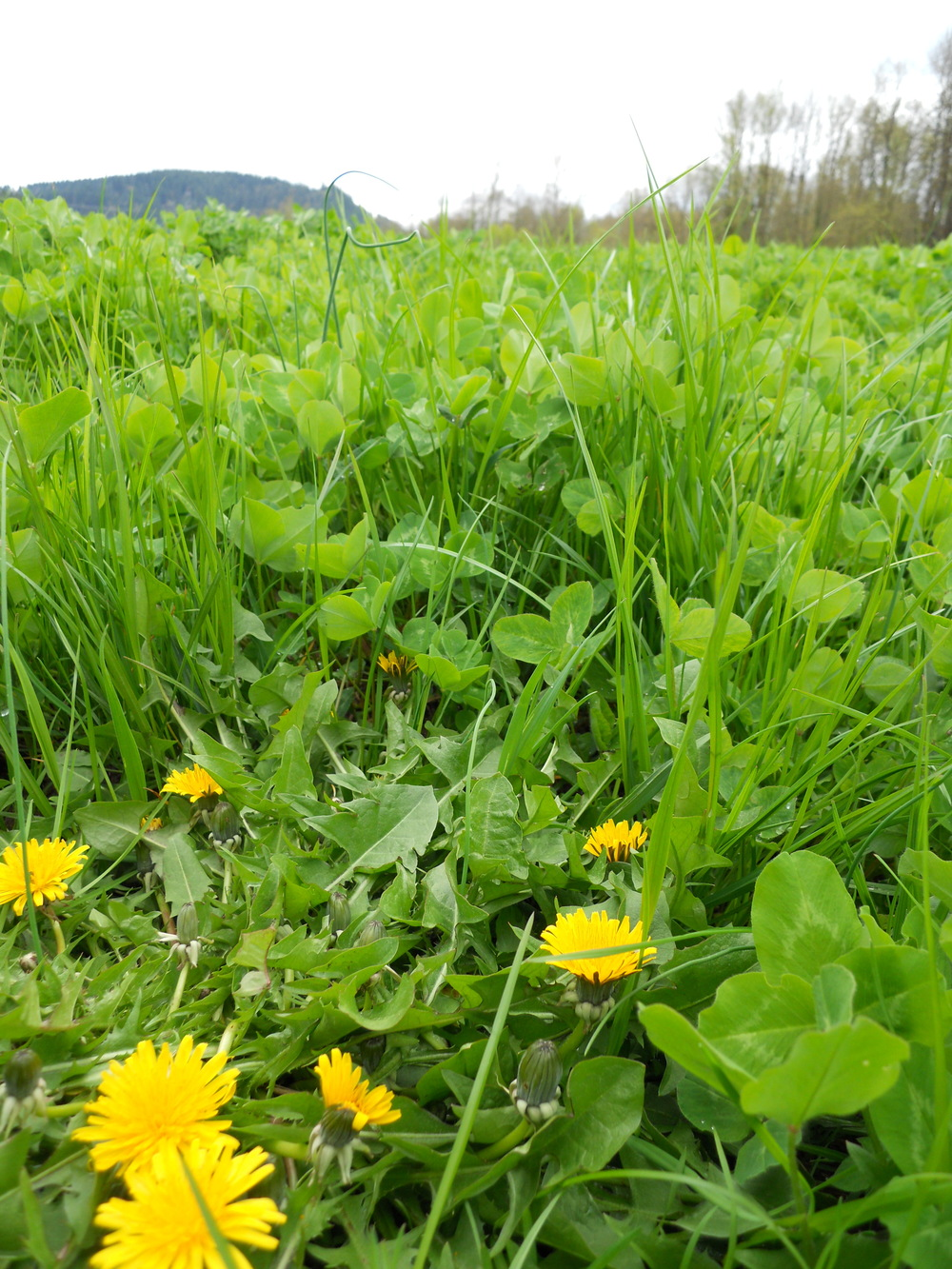 Even our cover crops are a polyculture.  Here, a clover and rye pasture mix is studded with occasional dandelions and wild onions.