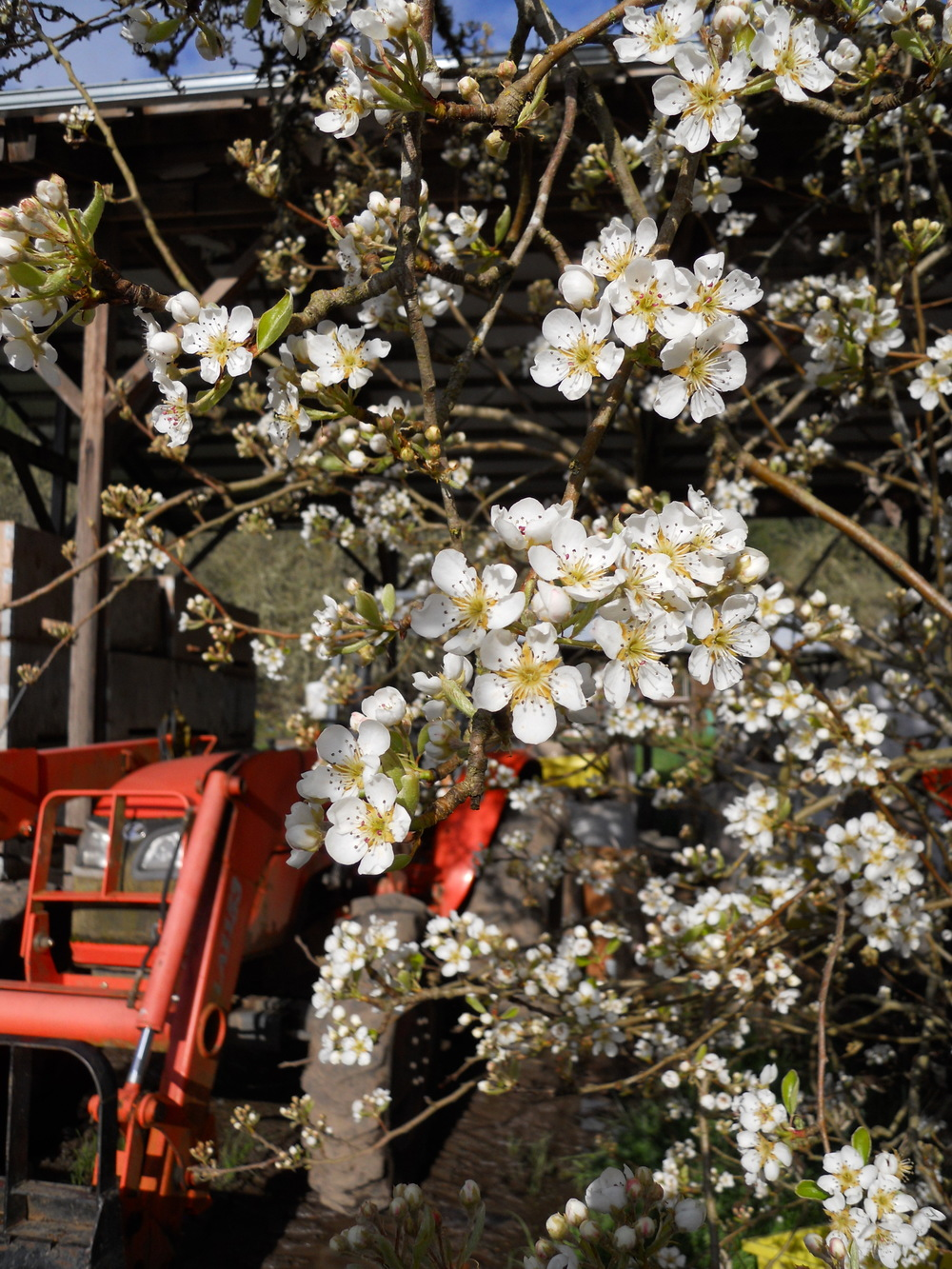 Pear blossoms at the shop.