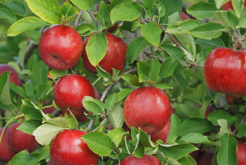 Diva apples in a New Zealand orchard.  Click to download high resolution image.