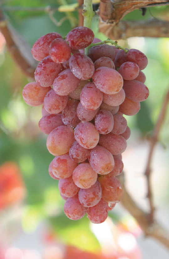 Pictured are Giumarra's Nature's Partner Mystic Treat™ grapes from Chile. Click to download high resolution image.