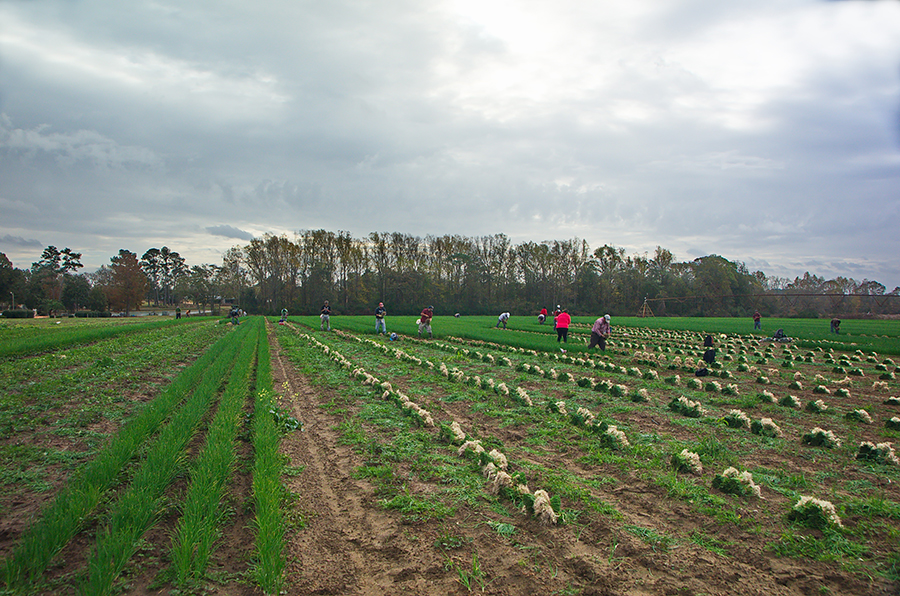 The onions are grown by G&R Farms in Glennville, Georgia. Access high resolution image.