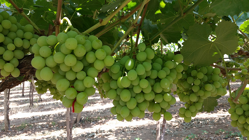 Nature's Partner Early Sweet green seedless grapes. Access high resolution image.