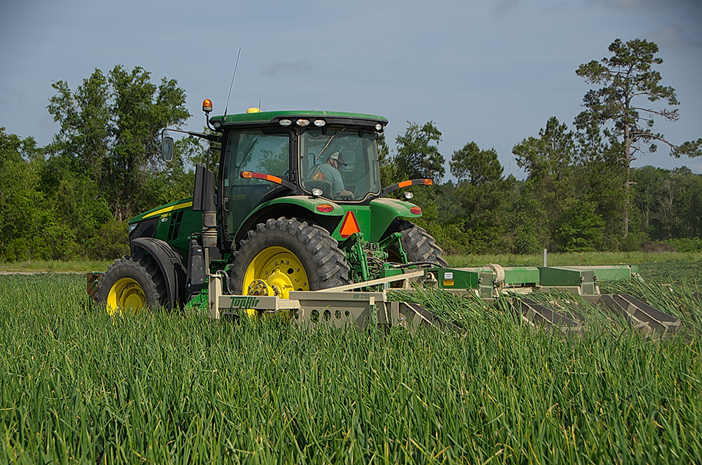 The Vidalia onion harvest at G&R Farms in Glennville, Georgia.  Access high resolution image.