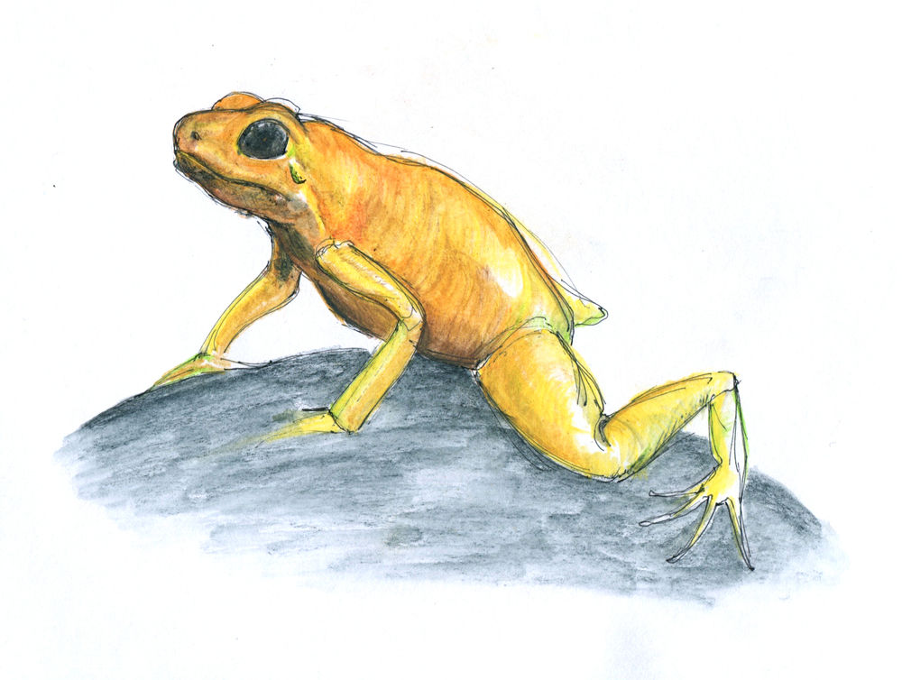 poisonfrog 7.jpeg