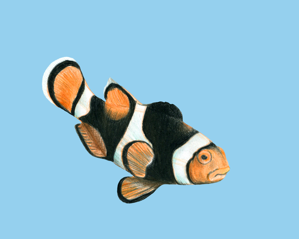 clownfish_color8.jpg