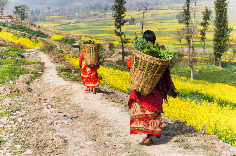 Women gathering crops on the plateaus of the Himalayan mountain range.