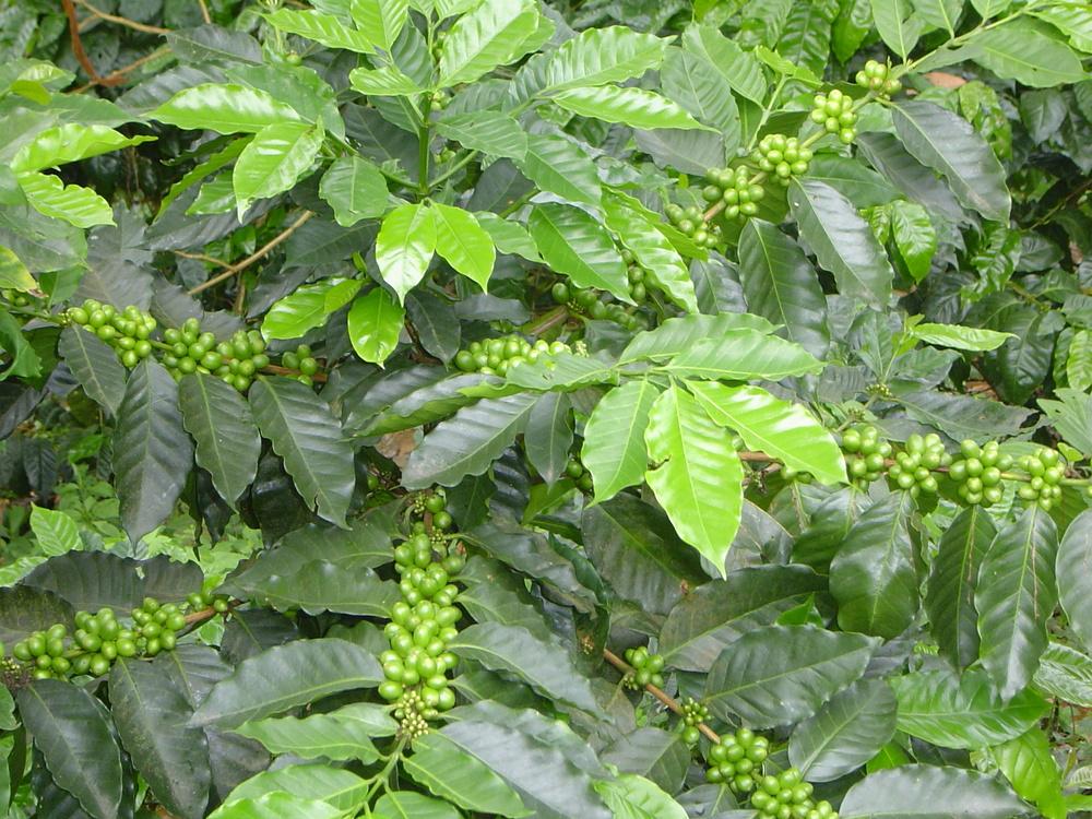 27 Cafeto en producción Verde.JPG