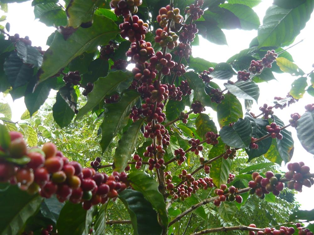 32 Cafeto En Producción Maduro.JPG