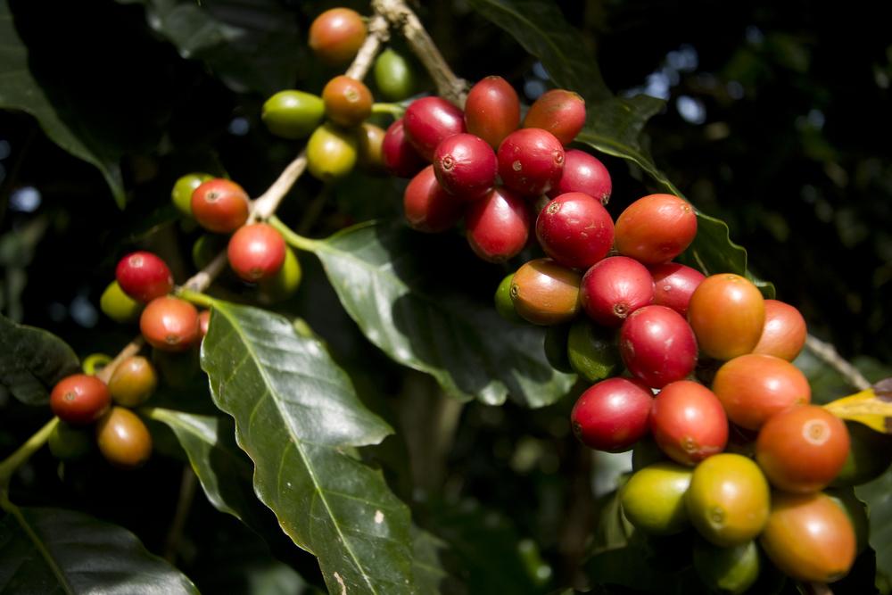 37 Cafeto en Producción Maduro.jpg