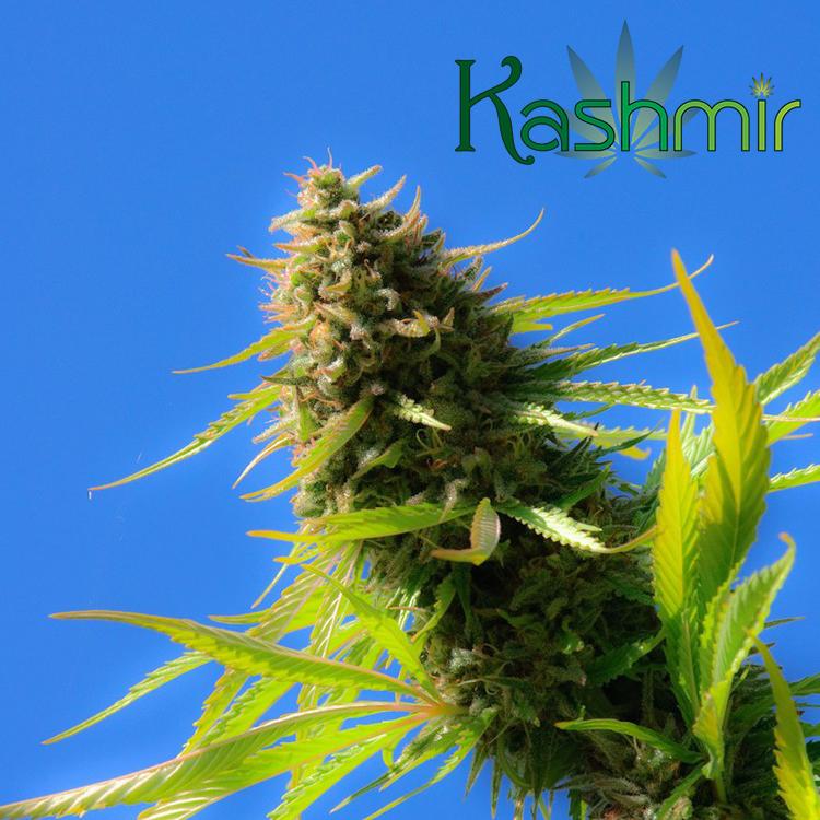 Kashmir Cannabis Blue Dream OD