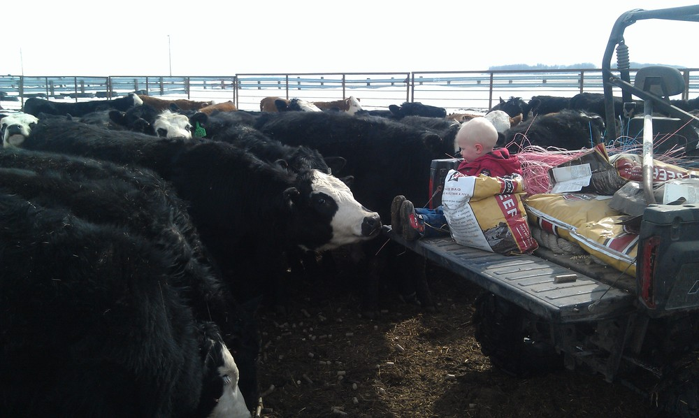 QUIETING THE HEIFERS