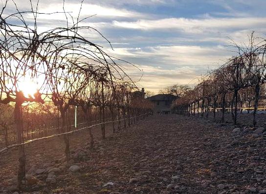 vineyard at sunset adjusted.jpg