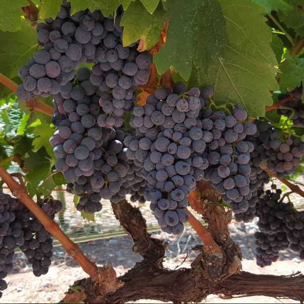 ripe grapes.JPG
