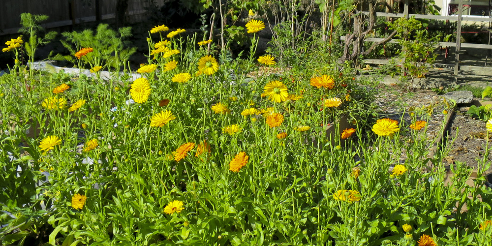 Calendula crop.JPG