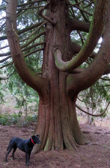 Red Cedar (& Piper)