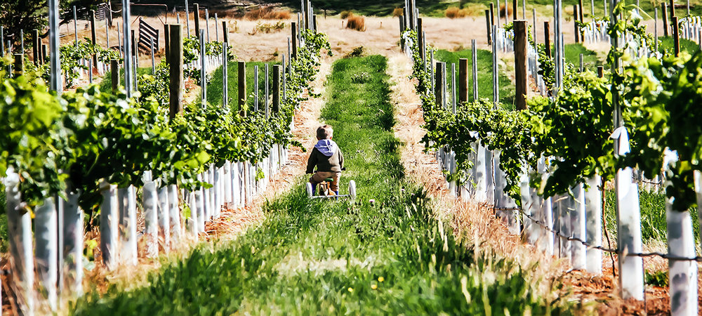 Angus bike in the vineyard