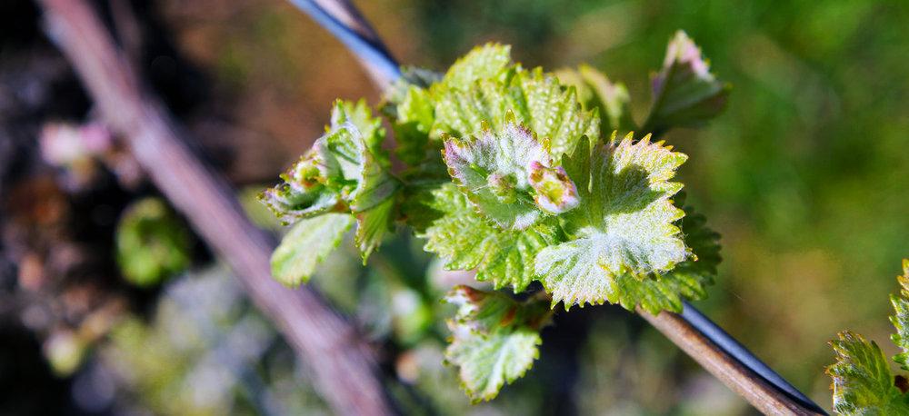 Bud burst Spring Tasmanian Vineyard