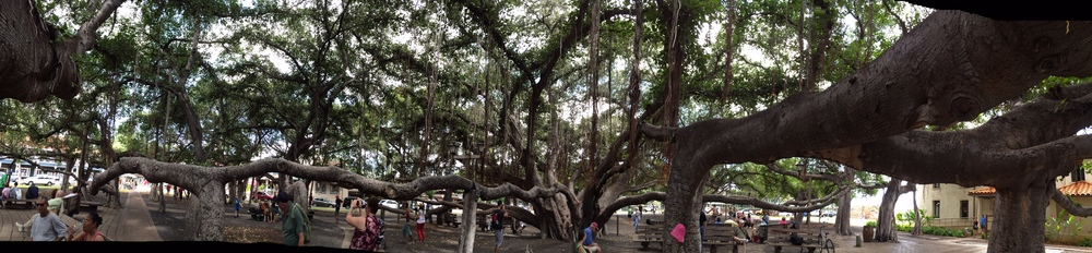 Great Banyan Tree in Lahaina, Maui