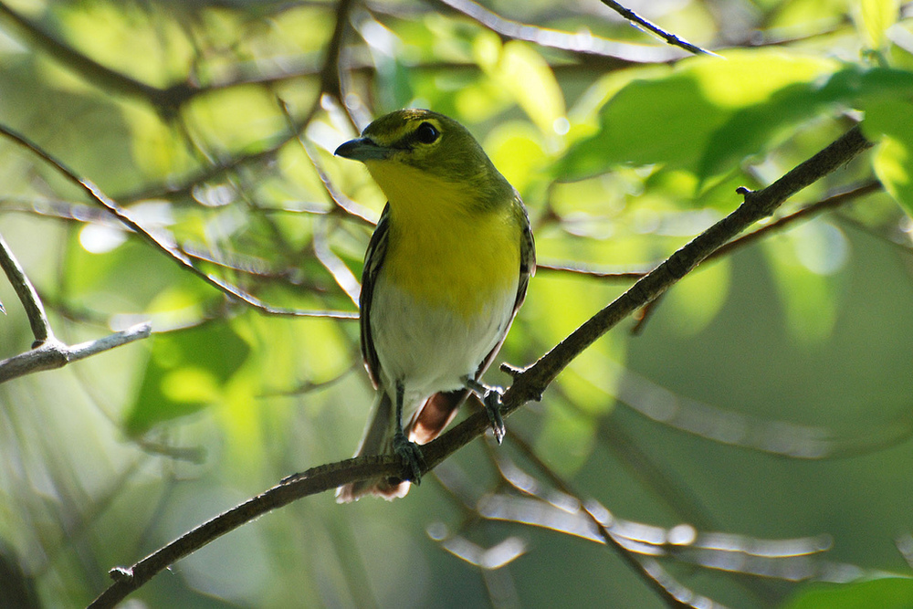 VIREO Photo Source:   http://www.flickr.com/photos/faulkners_fowl_shots/