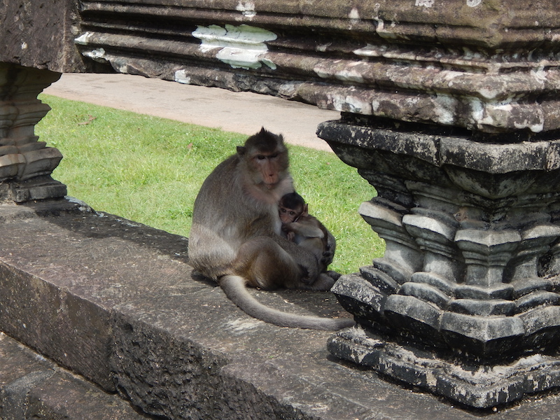Humans aren't the only denizens of Angkor Wat. These little guys are just now making a comeback after local near-extinction during famine-driven hunting under the Khmer Rouge.