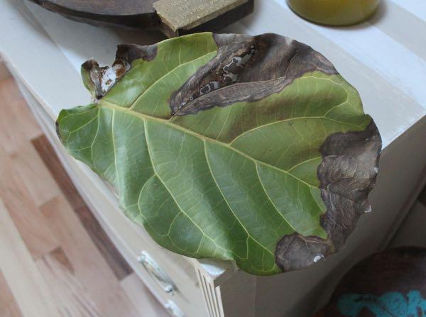 Ficus Fiddle.jpg