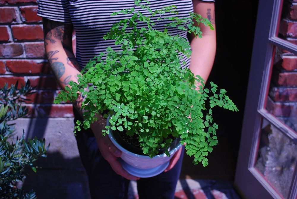 A lush, standard maidenhair fern in a fully glazed pot.