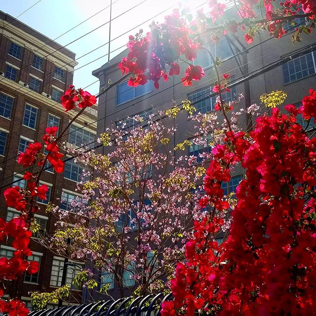 Urban beauty #DTLA #spring
