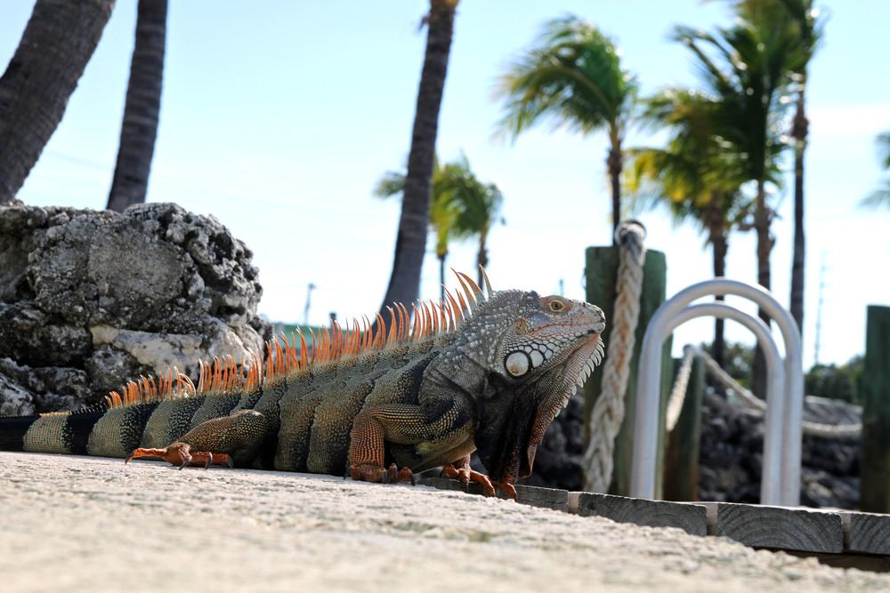 Iguana_Edit.jpg