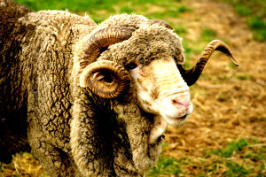 New Zealand Merino wool Ram