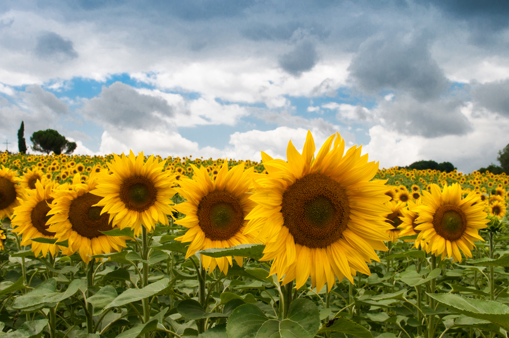 yellow-sunflowers.jpg