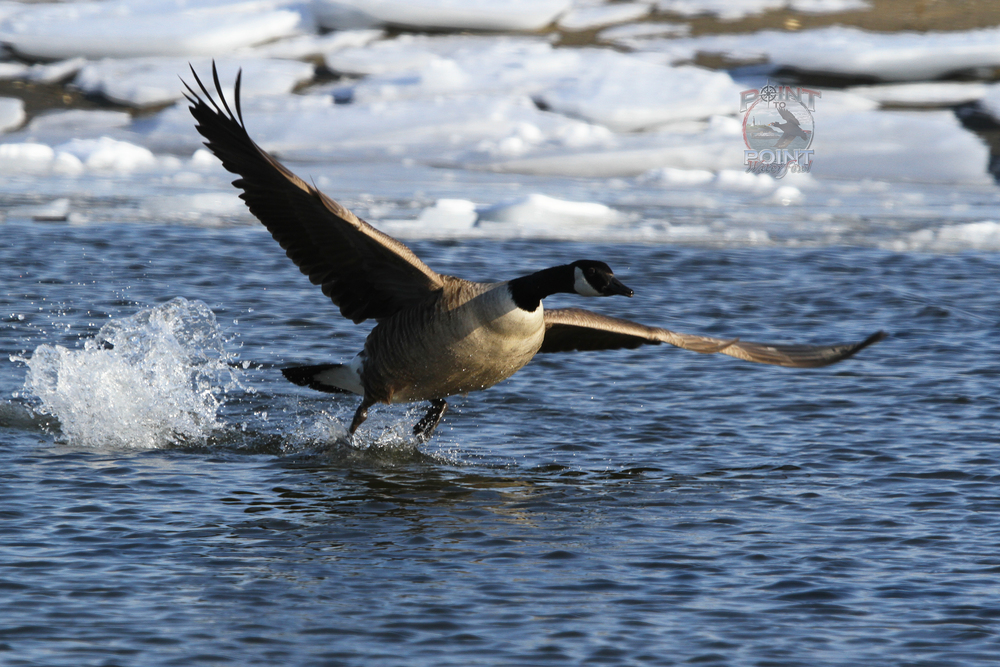 Goose in Flight 17.jpg