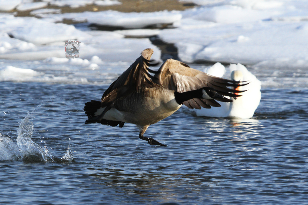 Goose in Flight 18.jpg