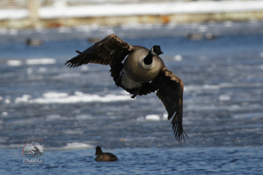 Goose in Flight 8.jpg