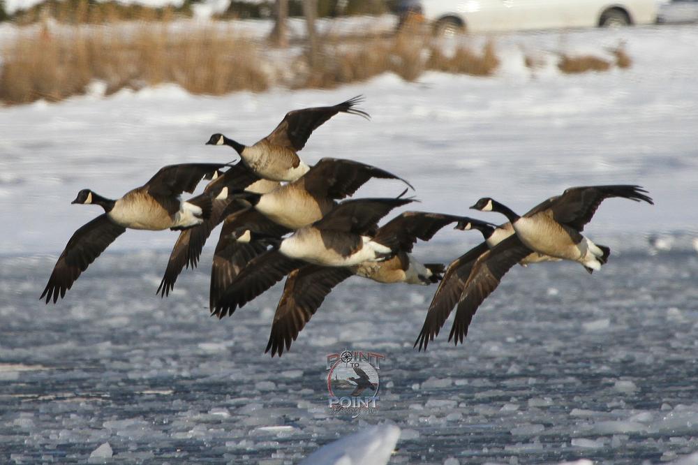 Ice Geese 2.jpg