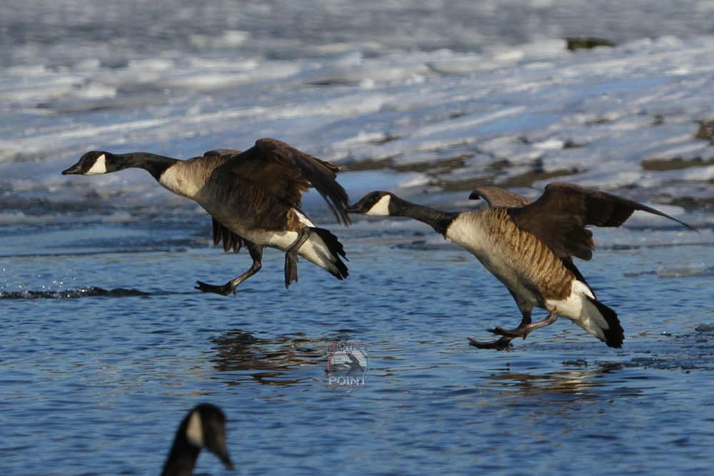 Ice Geese 7.jpg