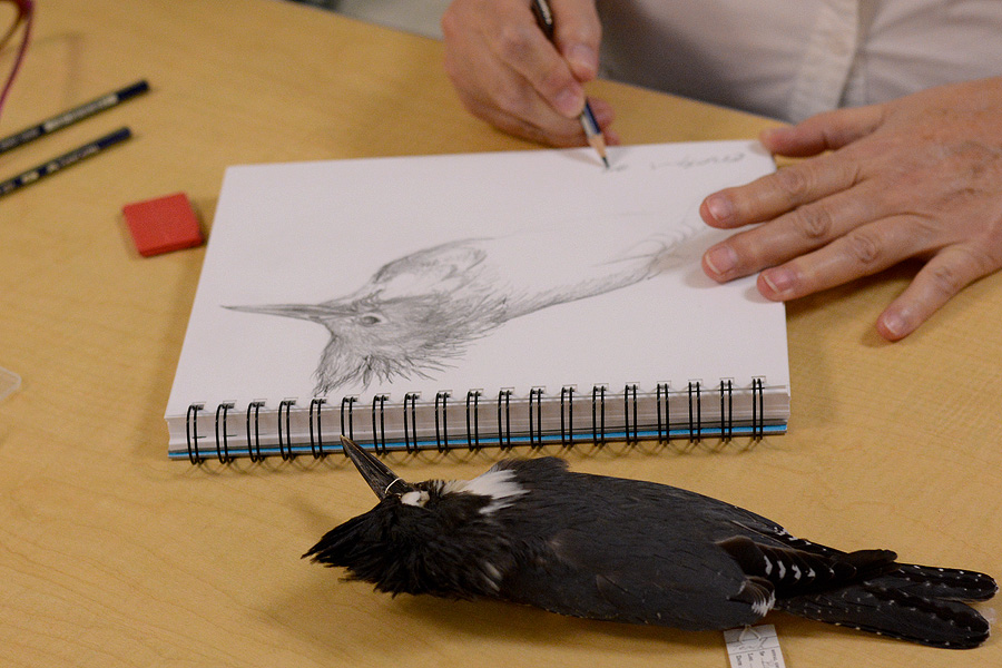 Belted Kingfisher in progress