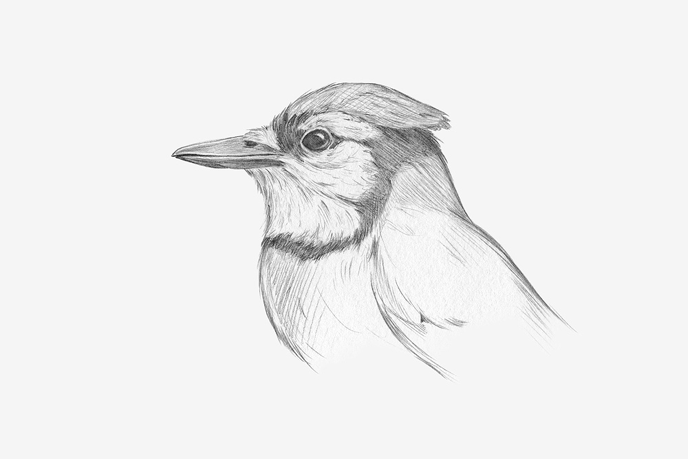 Blue Jay, pencil sketch