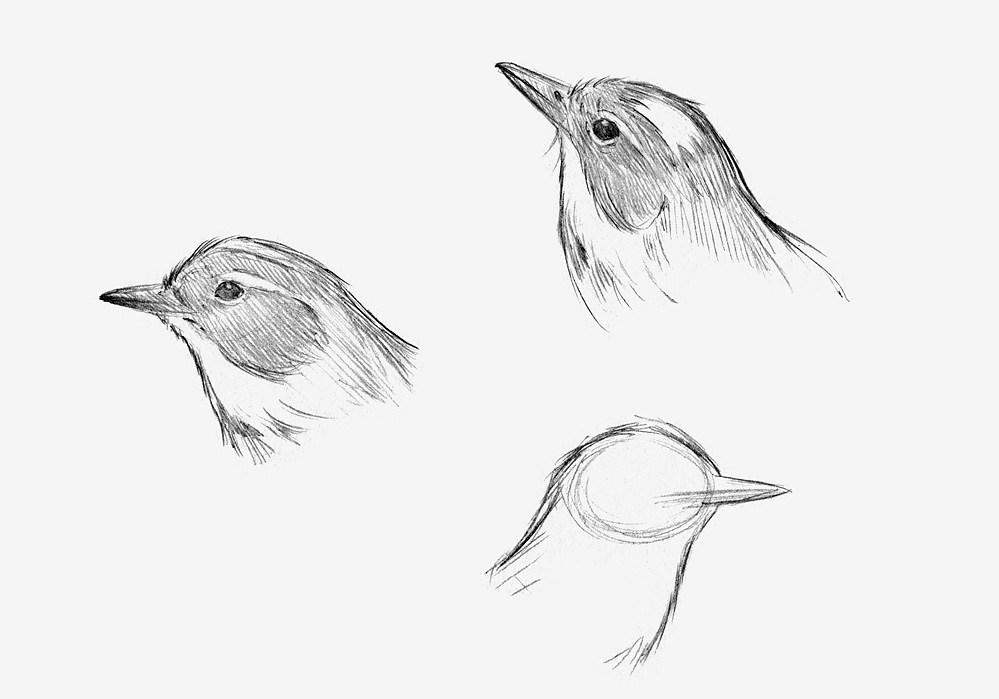 Yellow Rump Warbler, pencil sketch