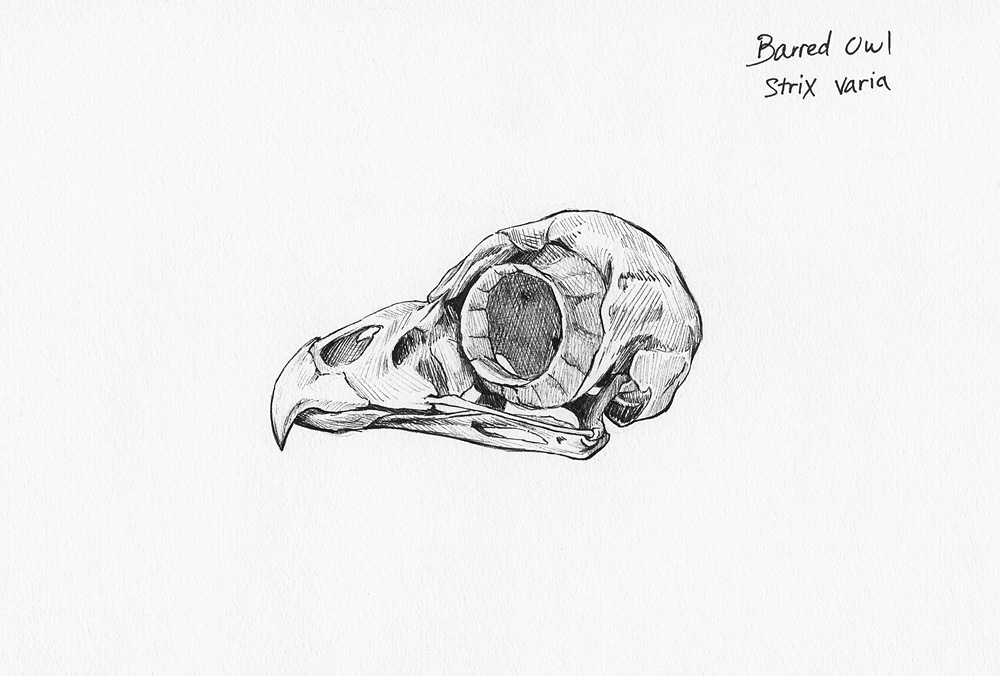Barred Owl Skull