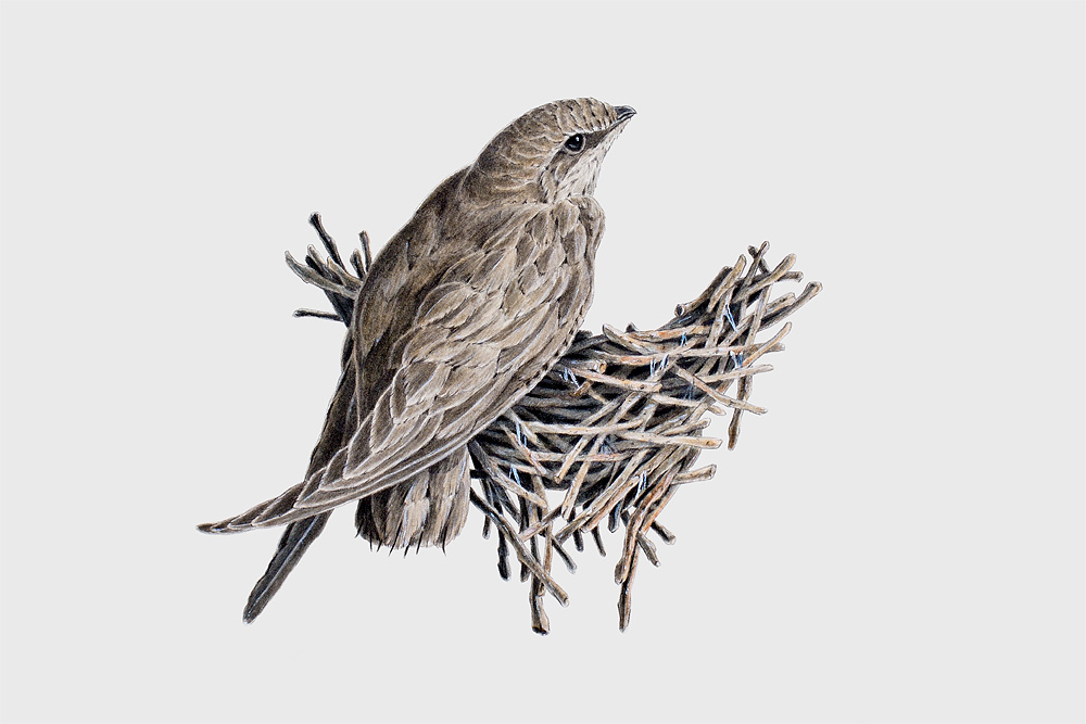 Chimney Swift, watercolour on Arches board