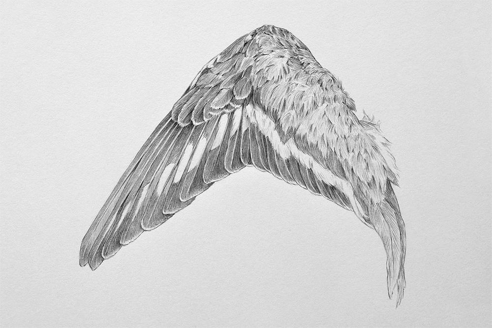 Killdeer wing study