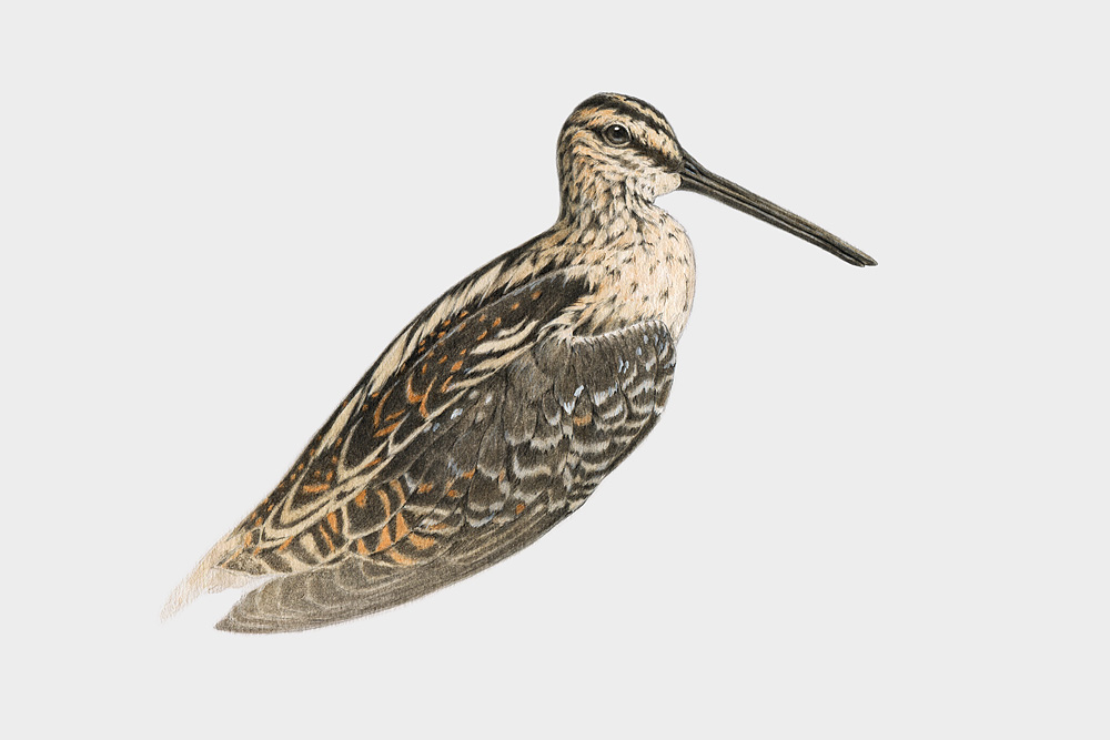 Common Snipe, watercolour