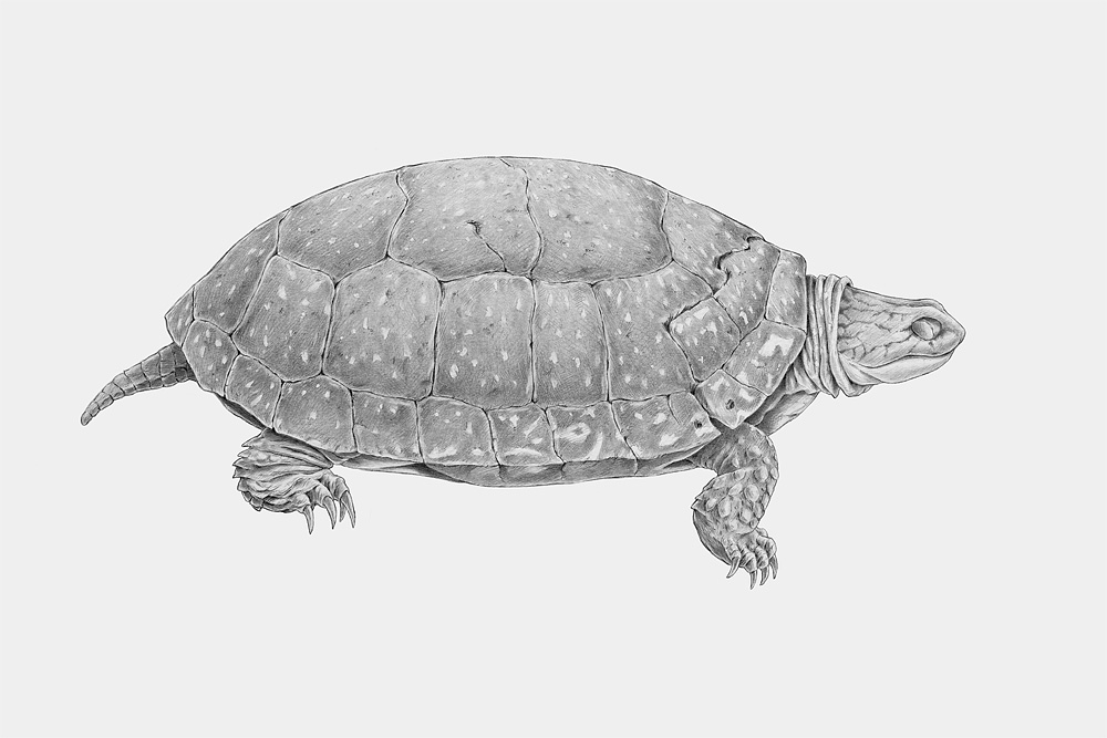Blanding's Turtle, pencil on board