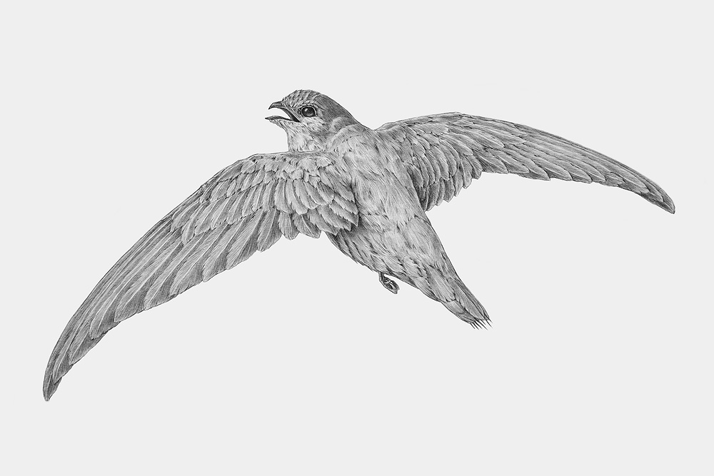 Chimney Swift, pencil on board
