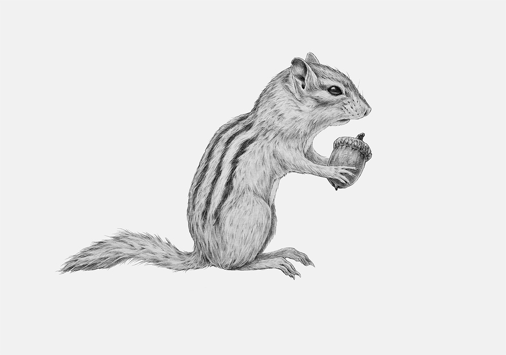 Eastern Chipmunk, pencil on board