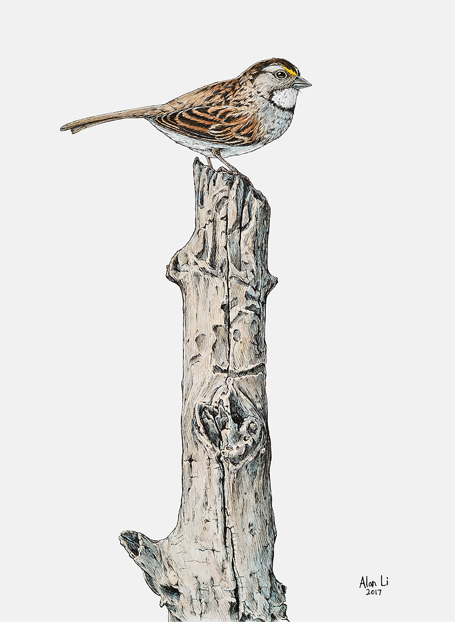 White Throated Sparrow, ink study